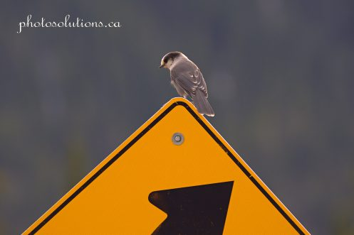 Its a sign gray jay Bragg Creek cropped wm