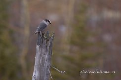 This way Gray Jay BC cropped wm