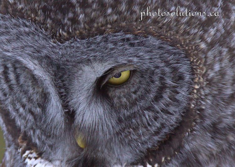 Great Grey Close up Focused cropped wm