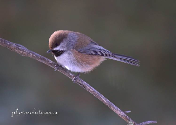 Boreal Chickadee out on a limb at Suzes cropped wm