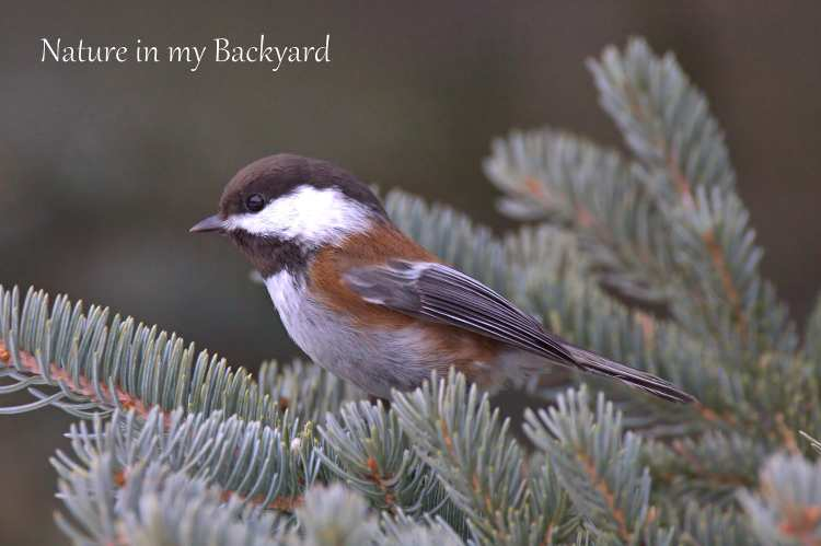 Chestnut Backed Chickadee at Back to Nature cropped wm