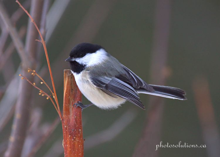 Chickadee posing at Suzes cropped wm