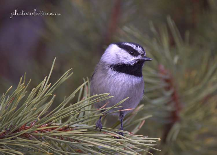 Mountain Chickadee Suzes posing in the pines cropped wm