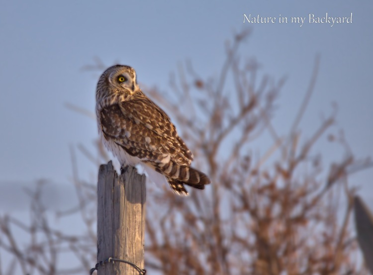 Short Eared Owl look back in sunset cropped wm