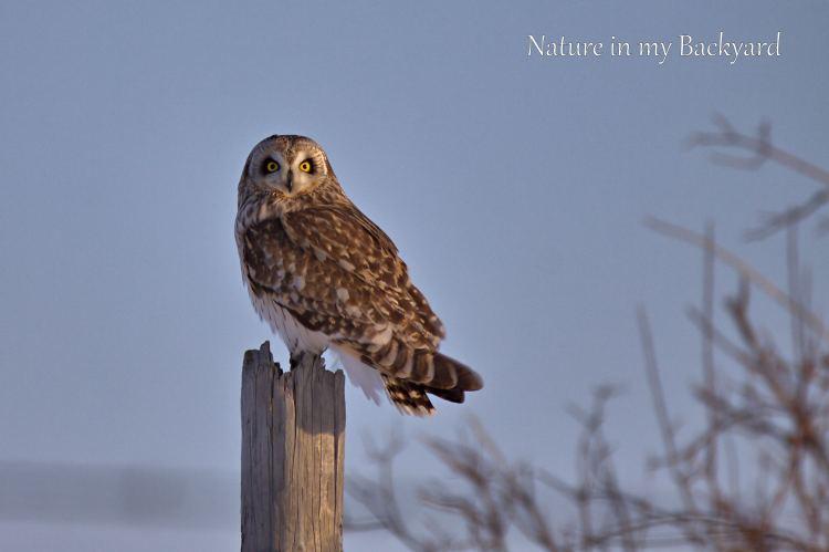 Short Eared Owl Poser wmjpg
