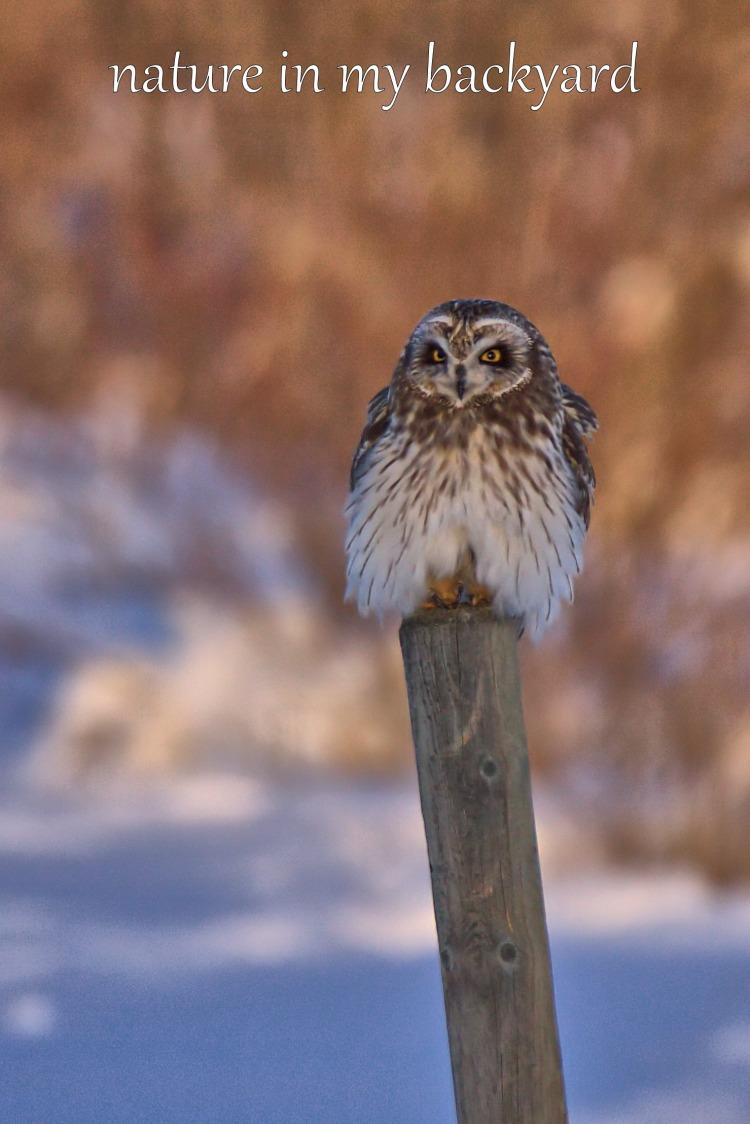 Short Eared owl puff ball cropped wm