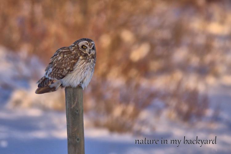 Short Eared Owl Puffed GVR cropped wm