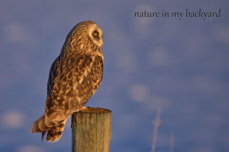 Short Eared Owl Side profiile cropped wm