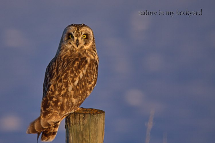 Who me short eared owl GVR wm
