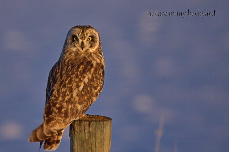Who me short eared owl GVR wm