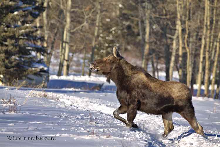 Male Moose on the move wm