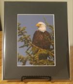 Bald Eagle 5 x 7