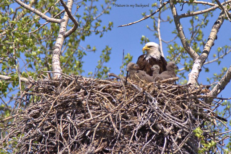 Eagle with 3 eaglets cropped wm