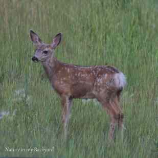 Fawn pausing for a moment square wm