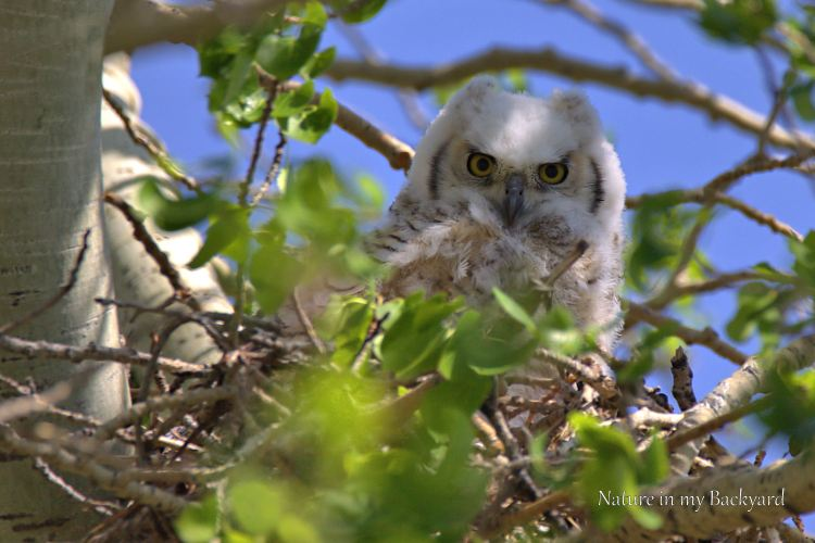 Great Horned Owlet wide eyes cropped