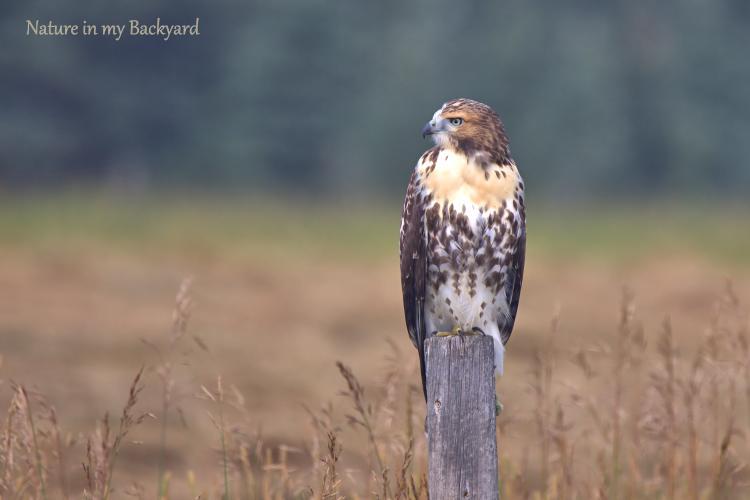 Hawk juvenile on fence post cropped wm