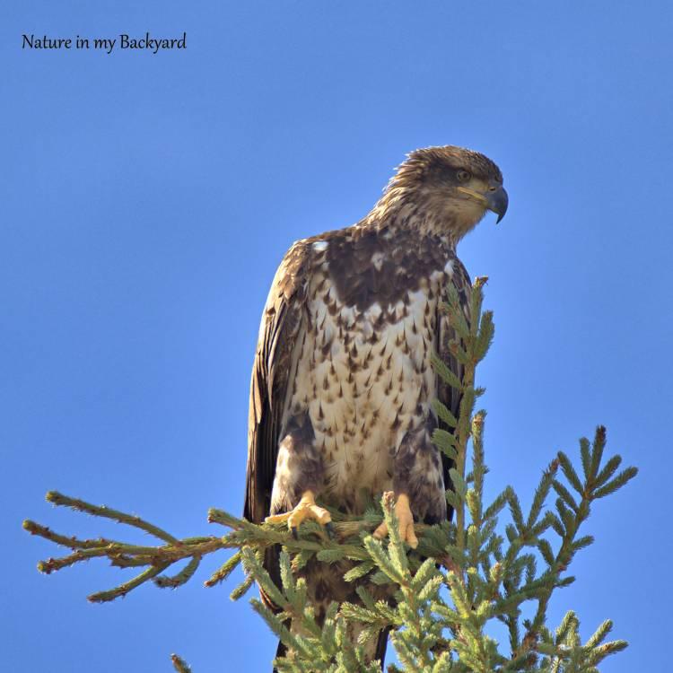 Juvenile Bald Eagle Profile in tree square