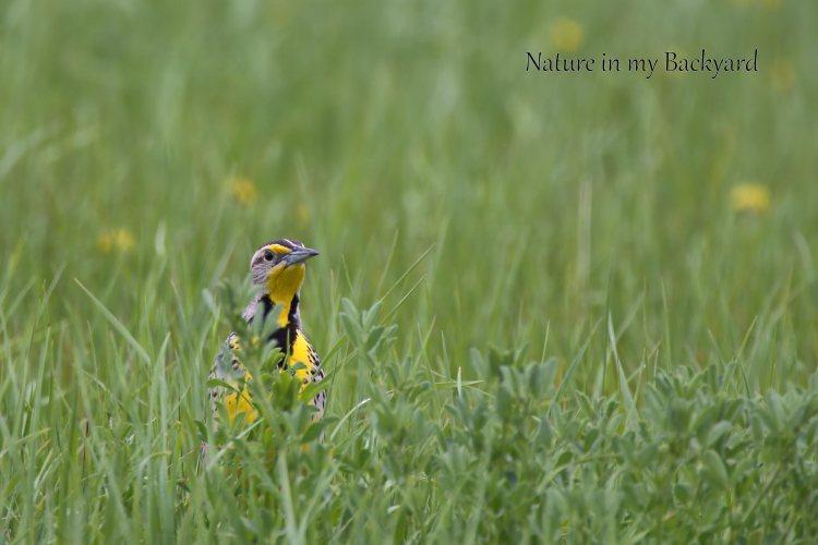 Meadowllark in the grass pop of color cropped.wmjpg