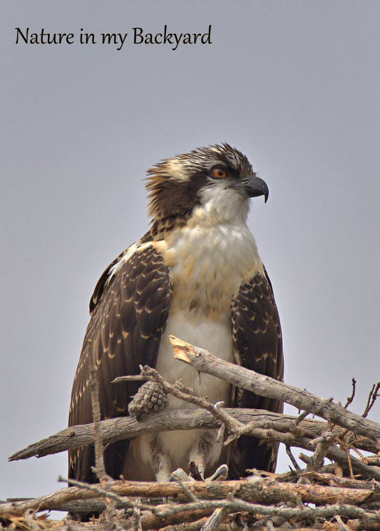 Young Osprey Pretty