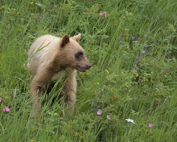 Blonde Bear Cub cropped. wsjpg