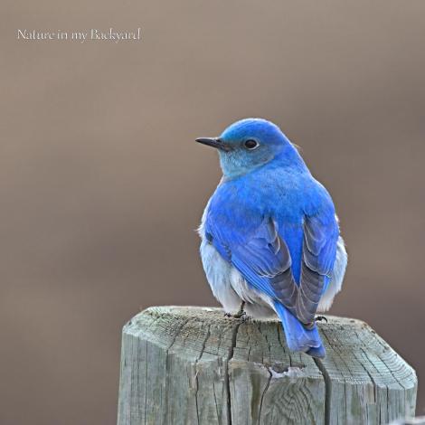 Bluebird male closeup square wm